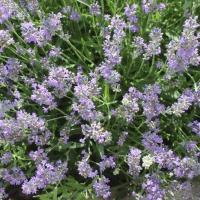 Lavendel-