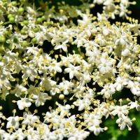 Hollerblütensirup-Hollerblüte