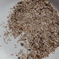 Pflücksalat-Samen des Pfücksalats